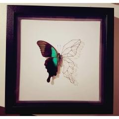 Cadre papillon Peranthus / fil - <p>Cr&eacute;ation sous cadre d'un magnifique papillon Peranthus.</p> <p>Les ails sont ici reproduites avec des fils.</p> <p>Cadre noir&nbsp; - 23cm/23cm&nbsp;</p>