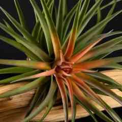 Plantes sans terre - tillandsia - Plante vivant sans terre, nécessitant peu de soin.