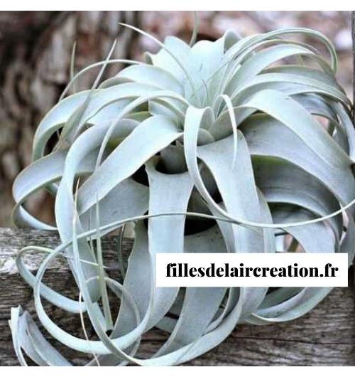 Tillandsia Xerographica - Plante sans terre Tillandsia Xerographica
