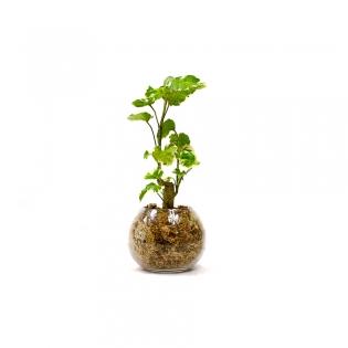 Boules dépolluantes - <p>Idéal pour apporter une touche de verdure dans vos interieurs. Grâce à ses propriétés dépolluantes vos plantes participent à assainir votre bureau ou maison.<br />Rempotée dans la sphaigne (substrat très absorbant, 100% naturel) vous arrosez votre boule toute les 3 à 4 semaines.</p>