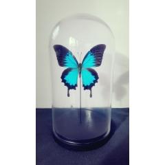 Papillon Ulysses sous globe  - <p>Superbe papillon Ulysses aux couleurs flamboyantes sous globe</p> <p>Globe en verre (24cm de hauteur/16cm de diametre) - socle bois</p>