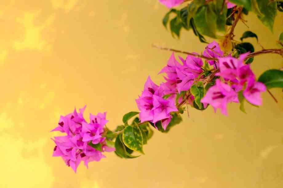 Fleurs roses devant un mur jaune
