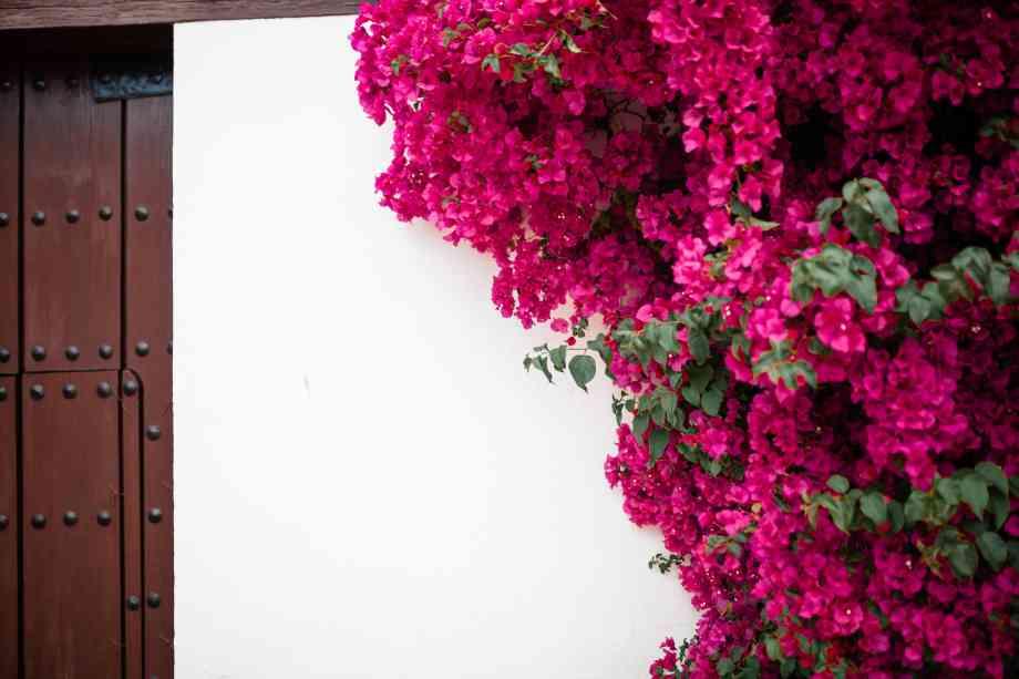 Fleurs roses sur mur blanc